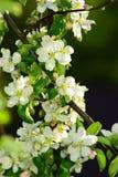 Di melo di fioritura. Fotografia Stock