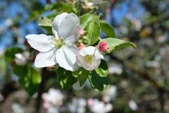 Di melo di fioritura Immagini Stock Libere da Diritti