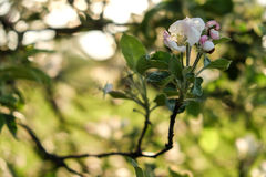 Di melo di fioritura Immagine Stock