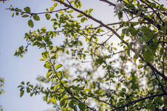 Di melo di fioritura Fotografie Stock