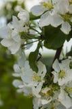 Di melo di fioritura con le formiche Fotografie Stock