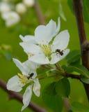 Di melo di fioritura con le formiche Immagine Stock Libera da Diritti