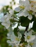 Di melo di fioritura con le formiche Fotografie Stock Libere da Diritti