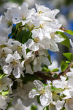 Di melo di fioritura della primavera nel giorno soleggiato Fotografia Stock