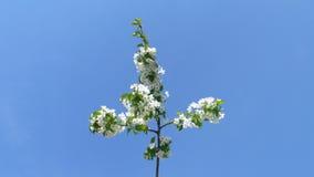 Di melo di fioritura della primavera su un fondo di cielo blu Immagini Stock Libere da Diritti
