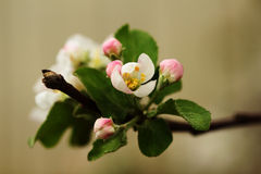 Di melo di fioritura isolato su fondo di legno Immagine Stock