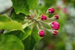 Di melo di fioritura nel tempo di primavera fiore della mela, fiori della mela Fotografia Stock Libera da Diritti