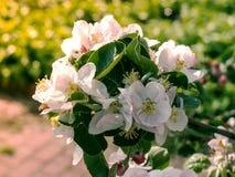 Di melo di fioritura in primavera Fotografie Stock Libere da Diritti