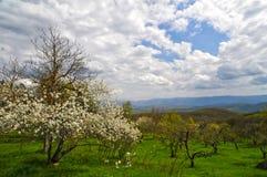 Di melo di fioritura in vecchio frutteto al giorno di molla Immagine Stock Libera da Diritti