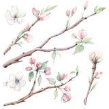 Di melo disegnato a mano si ramifica e fiori, albero di fioritura illustrazione vettoriale