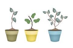 Di melo e di Cherry Tree in vasi ceramici Immagini Stock