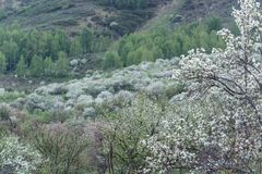 Di melo fioriti Natura in Tekeli fotografia stock