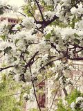 Di melo in fioritura Fotografia Stock