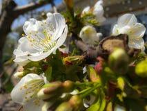 Di melo di fioritura; bei fiori bianchi, campo basso Fotografia Stock