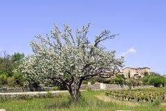 Di melo in fioritura che annuncia molla Fotografia Stock