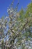 Di melo di fioritura della primavera Immagini Stock Libere da Diritti