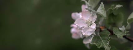 Di melo di fioritura nei colori pastelli immagini stock