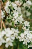 Di melo di fioritura nel giardino fotografia stock