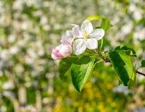 Di melo di fioritura nel tempo di primavera fotografie stock libere da diritti
