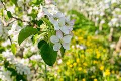 Di melo di fioritura nel tempo di primavera fotografia stock