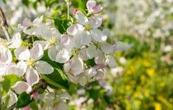 Di melo di fioritura nel tempo di primavera immagini stock