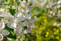 Di melo di fioritura nel tempo di primavera immagine stock