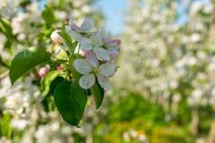 Di melo di fioritura nel tempo di primavera immagine stock libera da diritti