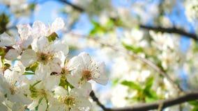 Di melo di fioritura nel tempo di primavera video d archivio