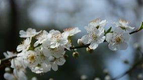 Di melo di fioritura nel tempo di primavera stock footage