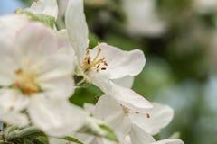 Di melo di fioritura Sorgente fotografia stock libera da diritti
