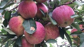 Di melo nel giardino della mela video d archivio