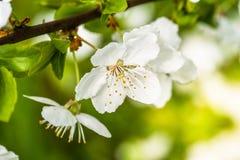 Di melo nella primavera in fioritura Fotografie Stock