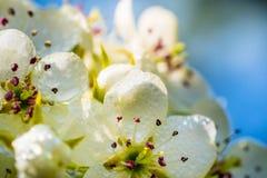 Di melo nella primavera in fioritura Fotografie Stock Libere da Diritti