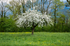 Di melo in piena fioritura su un campo di erba Fotografia Stock