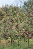 Di melo rossi del frutteto fotografia stock libera da diritti