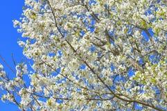 Di melo sbocciante, fiori bianchi sui rami verdi su un blu Immagine Stock