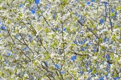 Di melo sbocciante, fiori bianchi sui rami verdi su un blu Fotografie Stock