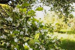 Di melo selvaggio di fioritura in un giardino abbandonato Immagine Stock