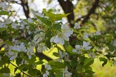 Di melo selvaggio di fioritura in un giardino abbandonato Fotografie Stock