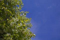 Di melo selvaggio di fioritura in un giardino abbandonato Immagini Stock