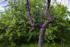 Di melo selvaggio di fioritura in un giardino abbandonato Immagini Stock Libere da Diritti