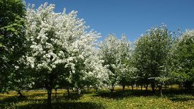 Di melo si ramifica in pieno dei fiori sboccianti stock footage