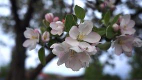 Di melo Sorgente nel giardino archivi video