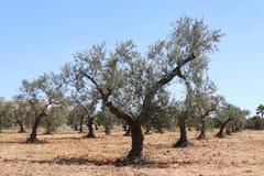 Di olivo immagini stock