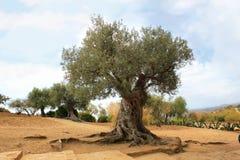 Di olivo illustrazione vettoriale