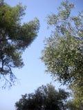 Di olivo 1 Fotografia Stock Libera da Diritti