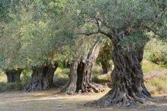Di olivo antichi Fotografia Stock Libera da Diritti