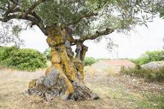 Di olivo antico Immagini Stock
