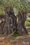 Di olivo antico. Fotografia Stock