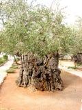 Di olivo antico Immagini Stock Libere da Diritti